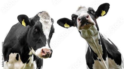 Fotobehang Koe two cows isolated