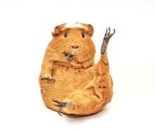 Karate Guinea Pig (guinea Pig ...
