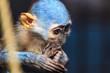canvas print picture - Affe in blau