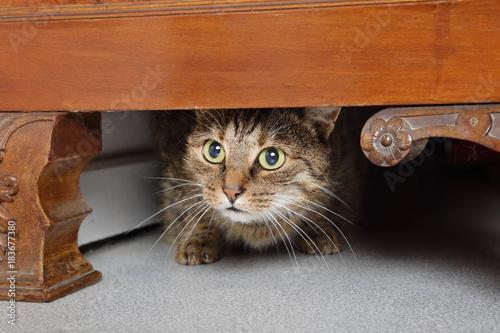 chat tigré brun marron tabby effrayé sous un meuble dans maison