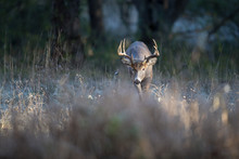 A Buck Whitetail Deer Looking For Does During The Rut.
