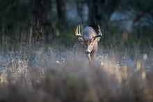 A Buck Whitetail Deer Looking ...