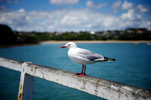 Close Up Portrait Of Seagull B...