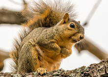 Fox Squirrel Huddling Against ...