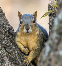 Fox Squirrel Posing For Its Po...