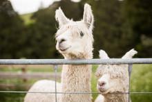 White Alpacas With Farm Gate