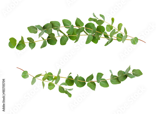 Wall Murals Floral Decorative eucalyptus green leaves