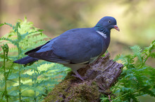 Common Wood Pigeon Perched On ...