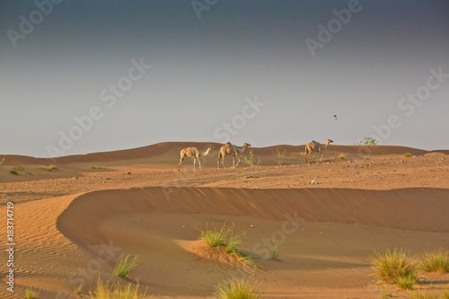 Camels in the deserts of Sharjah, UAE