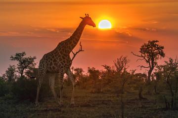 Fototapeta Żyrafa Giraffe in Kruger National park, South Africa