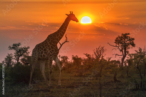 Spoed Fotobehang Giraffe Giraffe in Kruger National park, South Africa
