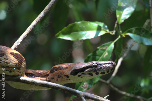 Madagascar tree boa Canvas Print