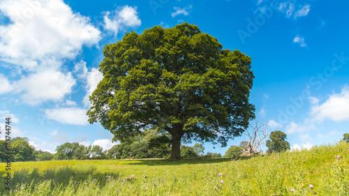 Fotomural oak tree in field with blue sky