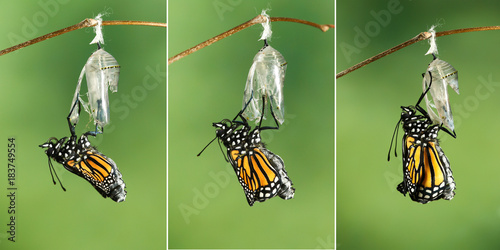 Monarch Butterfly (Danaus plexippus) drying its wings after emerging from its ch Wallpaper Mural