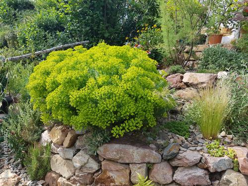 Steingarten Steppenwolfsmilch Euphorbia Seguieriana Buy This