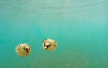 Two Porcupine Fish, Also Commo...