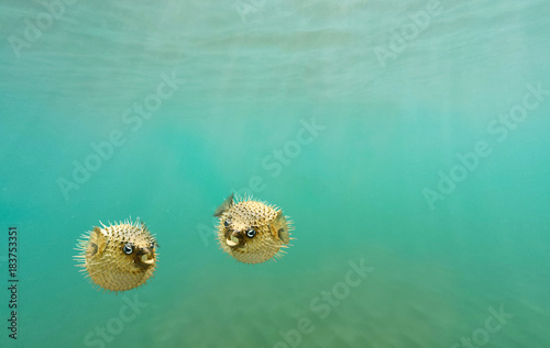 Two porcupine fish, also commonly called blowfish, balloonfish and globefish swi Canvas Print