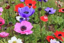 Purple Poppy Anemone Flower(Anemone Coronaria)