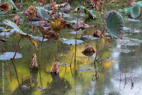 Waterlily pond, dry and dead water lilies, dead lotus flower, beautiful colored Canvas Print