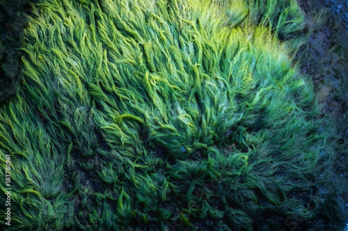 Green algae covered granite boulder in a riverbed Canvas Print