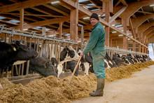 Rinderstall, Bauer Füttert Das Rindvieh
