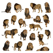Large Collection Of Adult Lion...
