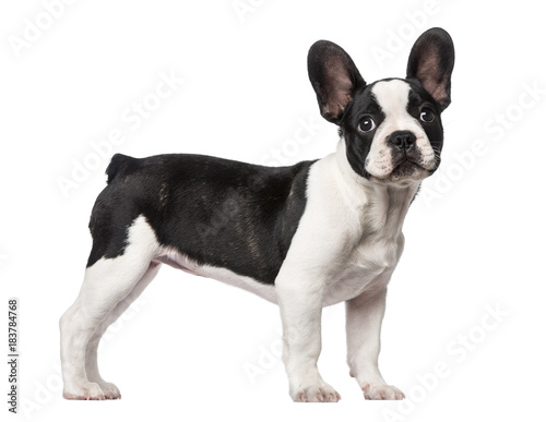 Staande foto Franse bulldog French Bulldog puppy (3 months old)
