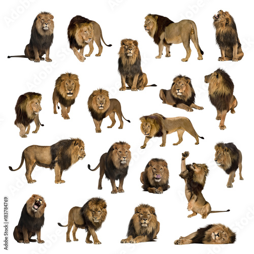 Door stickers Lion Large collection of adult lion Isolated on white background.