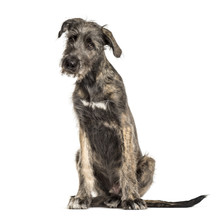 Irish Wolfhound Dog, Sitting, ...