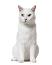 White Mixed-breed Cat (2 Years...