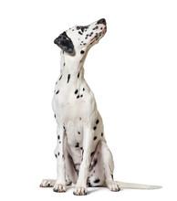 Dalmatian Dog, Sitting, Lookin...