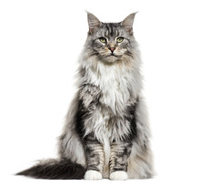 Main Coon Cat, Sitting, Isolat...