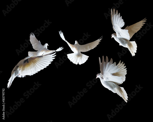A flock of white pigeons on a black background