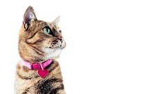 Delightful Bengal Cat Lies On ...