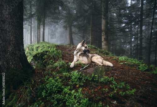 Fotografía  Dog in a mystical forest. Dog walking outdoors in a forest.