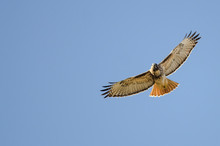 Red Tailed Hawk Flying In A Bl...