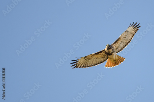 Red Tailed Hawk Flying in a Blue Sky Wallpaper Mural