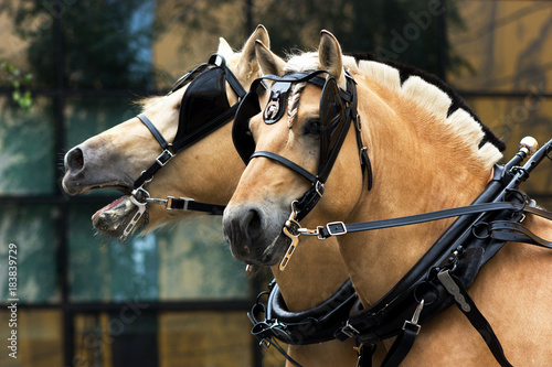 Photo Two norvegian fjord males in blinkers staying outdoor