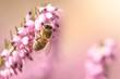 Biene auf Heideblüte mit rosa Bokeh