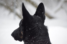 Purebred German Shepherd Watching In The Winter