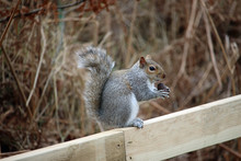 Grey Squirrel Eating An Acorn