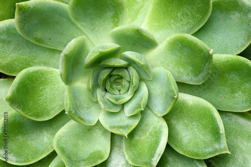 Close-up green succulent plant Echeveria. Floral background