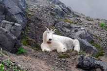 A Mountain Goat Looking And La...