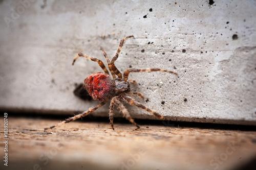 Fotografie, Obraz  Orb-weaving spider Araneus angulatus male, isolated on white background, rear vi