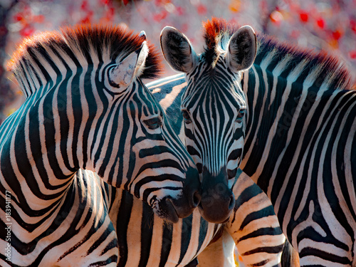 Two zebra nuzzling, Mpumalanga, South Africa