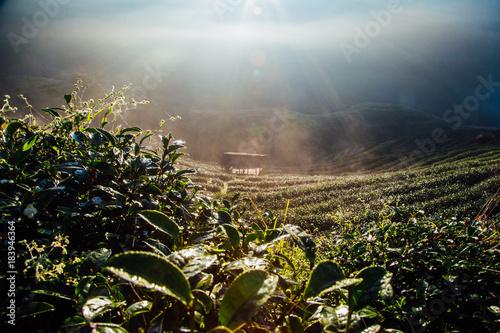 Fotomural Sunrise morning in tea plantation field on mountain