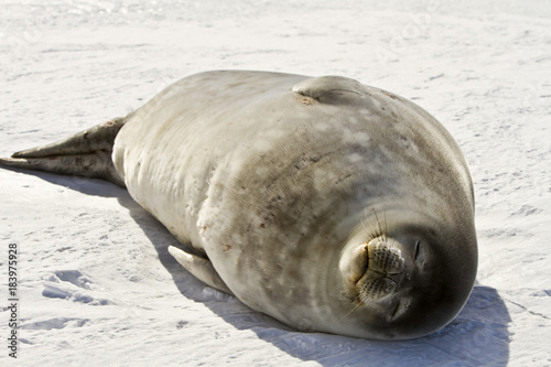 Weddell seal(leptonychotes weddellii)resting on ice in the Davis sea,Eastern Ant Poster