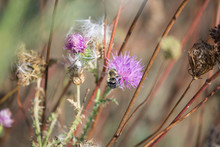 Bumble Bee On Purple Wild Flow...