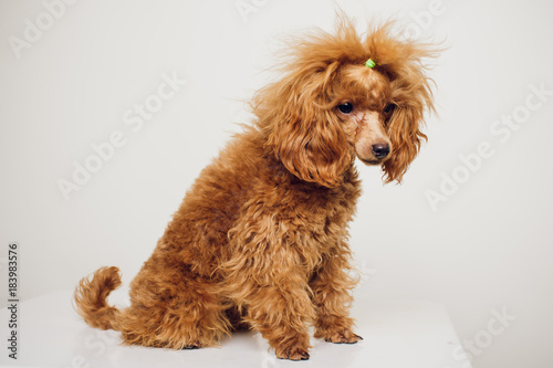 Poodle with Golden Brown Fur on a white background © Евгений Вершинин