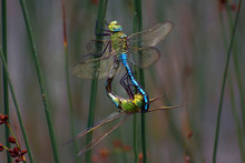 Emperor Dragonfly Mating - Ana...